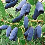 Sibirische Blaubeere - Lonicera Kamtschatica - Maibeere - saftige Früchte, absolut winterhart