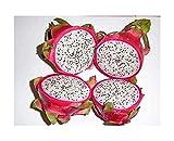 Drachenfrucht - Dragon Fruit - Pitaya - Pitahaya - Hylocereus undatus - 50 Samen