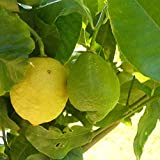 Citronnier des quatre saisons - Citrus lemon - Citronier en POT
