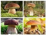 Boletus - set di quattro specie - porcini, porcini di betulla, pinoli di pino, funghi porcini estivi - semi