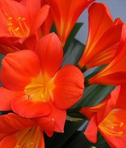 Clivia Triangle Red - Clivia rouge - 1 graines