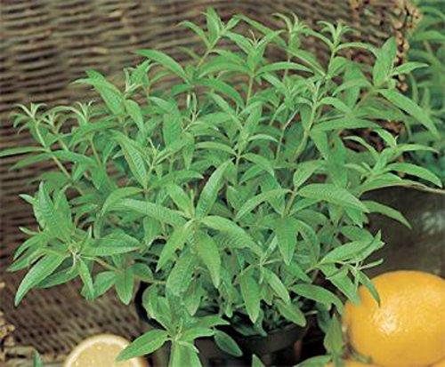 verbena-lemon-aloysia-citrodora-lippia-citriodora-herb-plant-9cm-pot