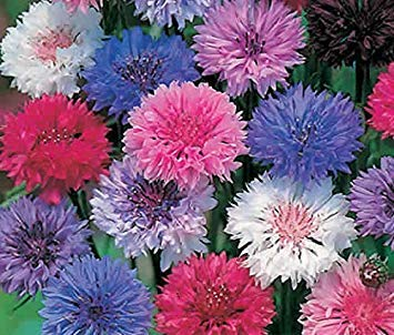 Zoomy Far: CENTAUREA CORN Blumen-Mischblumensamen (AVG 50-100) SEEDS X 5 PACKET (Wire Switch 3-way Light)