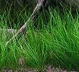 WFW wasserflora Nadelsimse/Eleocharis acicularis im Topf