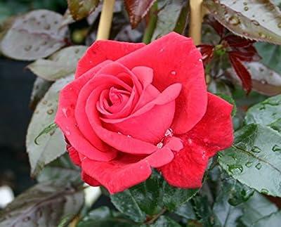 """Kletterrose """"Red Flame ®"""" von Agel Rosen bei Du und dein Garten"""