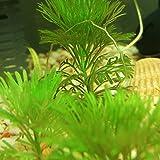 1000 pièces d'aquarium Plantes Graines Indispensables De nombreux animaux aquatiques sont des abris et plantes d'abri d'approvisionnement Bonsai d'oxygène