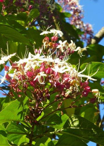Tropica - Asiatischer Losbaum ( Clerodendron ) - 10 Samen