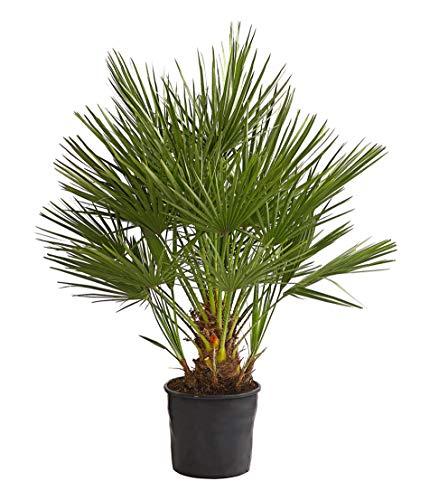 Dehner Zwergpalme, dornenbesetzte Stiele, ca. 90-100 cm, Ø Topf 22 cm, Palme