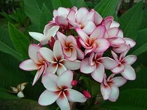 "8 inch to 12 inch plumeria frangipani pflanze cutting rooted plumeria frangipani Ausschnitt verwurzeltes ,name ""Magenta powder"""