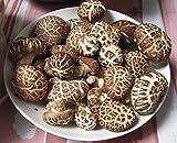 Portal Cool Semillas de Setas Shiitake Imperial Negro micelio sustrato freza esporas Ucrania