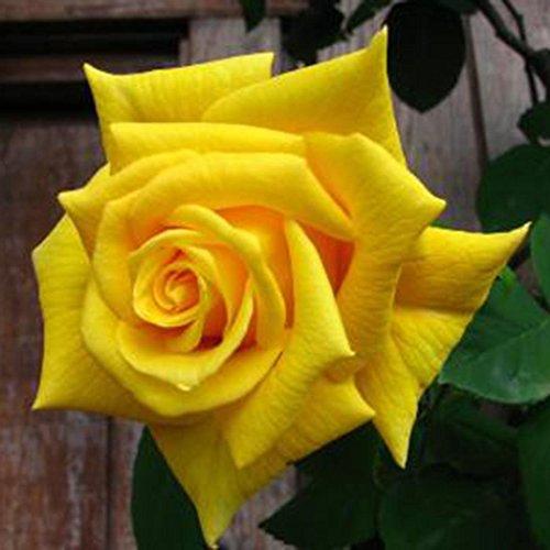 Semillas de Rosas Amarillo 10 PCS Semillas de Flores Raras para Jardin, Huerto, Balcon Interior