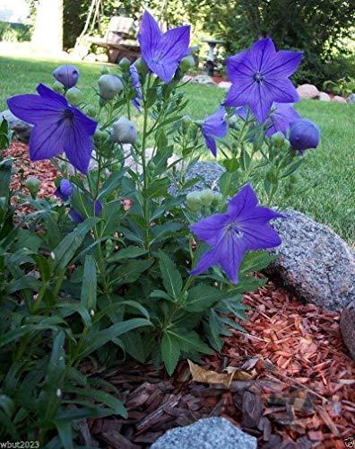 Pets Delite® 100 Balloon Flowe Seeds-Blue (Platycodon) chinesische oder japanische Bell Blume