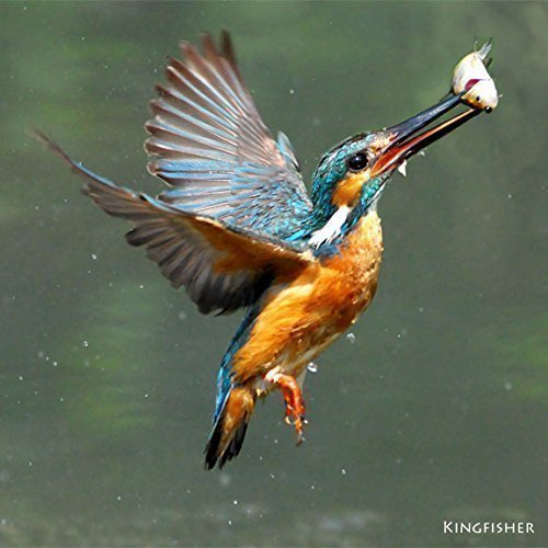 kingfisher-greeting-card-with-sound-photograph-of-kingfisher-fishing-combined-with-its-song-to-make-