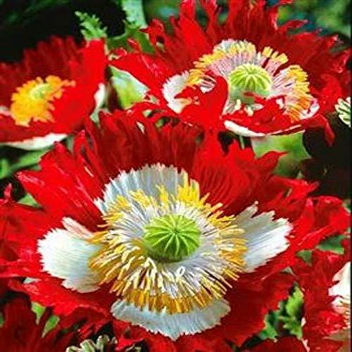Go Garden Drapeau Danois de Pavot 100 graines! Voir Notre Magasin Plus de 450 Sortes de graines rares!