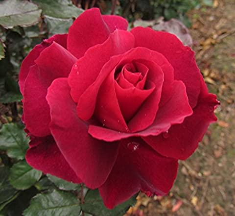 LOTS OF LOVE - 4lt Potted Hybrid Tea Garden Rose Bush - Beautiful Deep Red Frilled edged blooms, Strong Spicy Fragrance - Exclusive!