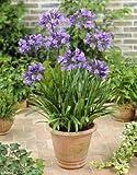 Beetpflanzen Afrikanische Lilie (Agapanthus blau)
