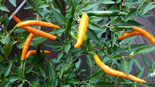 """2 Töpfe Thai Orange Chili""""Für Feinschmecker und Chilifans"""" Chili Chilipflanze Chilipflanzen"""