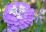 Schleifenblume 30 Samen (IBERIS GIBRALTARICA) Lavender Farbe Bodendecker