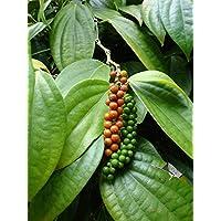 5 semillas de Piper nigrum Negro Pimienta