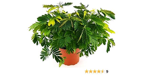 sensibile pianta 35 semi-divertente per bambini! Mimosa Pudica