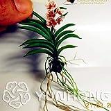 Bloom Green Co. 100PCS Mini Orquídea-Bonsai FLOR Bonsai Para Jardín De Casa Phalaenopsis Orquídea Bonsai Compra Directa De China Orquidea Semente: 7