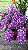 #2: M-Tech Gardens Rare Dendrobium Orchid Burana Doll Compactum 1 Small Healthy Live Plant with Pot