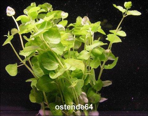 WFW wasserflora Grünes Pfennigkraut/Lysimachia nummularia