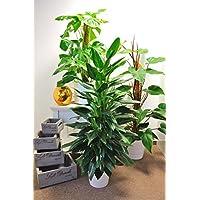 Zimmerpflanzen Schatten suchergebnis auf amazon de für schatten zimmerpflanzen blumen