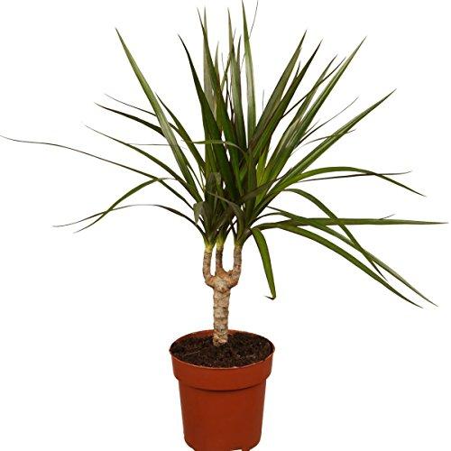 Ananas comosus Pflanze 10cm echte Ananaspflanze essbare süße Früchte