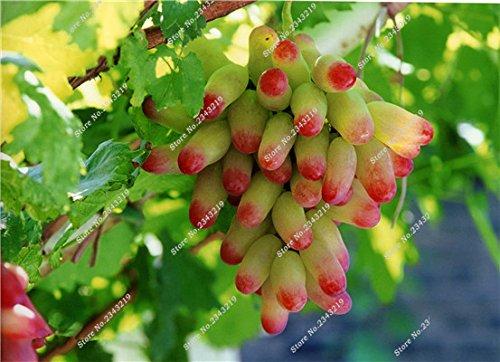 Bonsai Finger de pépins de raisin délicieux pot organique plante pour les plantes ornementales Maison et jardin Can comestible sain Fruit semences 60 Pcs 8