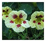 Premier Seeds Direct CI-LUIM-OHGW Nasturtium Ladybird Spot Seeds - Cream/Purple (Pack of 25)