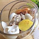 Gemini _ Mall Strandmuscheln, verschiedene Arten, natürliche Muscheln als Dekoration für Bastelprojekte, Hochzeit, Garten, Aquarium, zufällige Farben und Muster, 100g gemischt - 4