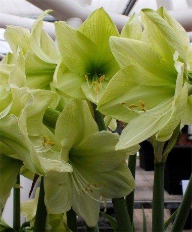 2 Amaryllis Luna énorme ampoule 30-36 cm. Excellent Cadeau de vacances. facile Grow ampoule.