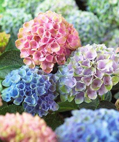 20 graines / sac Hydrangea semences, Chine Hortensia, hortensia graines de fleurs, 12 couleurs, croissance naturelle pour jardin Plantation