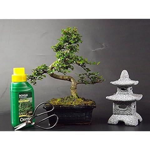 Cinese elm- 20-25 cm colore blu ceramica vaso + Pagoda portacandele e kit di pulizia