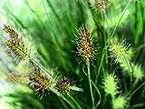 Pennisetum Little Bunny - Zwerg Federborstengras Little Bunny Topf 11 cm - in Gärtnerqualität von Blumen Eber
