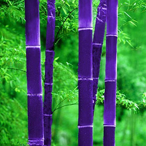 a Moso Bambus (Phyllostachys pubescens) Samen Riesenbambus starkwüchsig frosthar, geeignet für Garten, Teich, zum Hausbau, Gerüstbau, für Möbel, Zäune ()