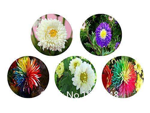 Homely Garden Seeds 100 Graines De Fleurs De Chrysanthème Graines, Couleur Rare, Bricolage Maison Jardin Fleur