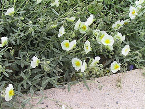 Helianthemum x cultorum 'Eisbär' - 3 Pflanzen im 0,5 lt. Vierecktopf