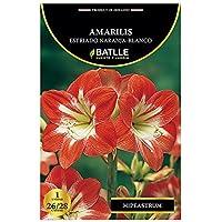 Bulbos - Amarilis estriado naranja blanco - Batlle