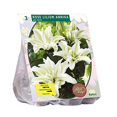 BALTUS Annika Rose Liliumbulben Von Blumen & Garten