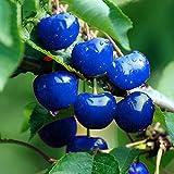 Keptei Samenhaus-10 Stück Selten Großfrüchtige Süßkirsche Saatgut blau Kirsche Samen für Ihre Garten und Balkon
