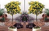 Fünffingerstrauch zum Stämmchen gezogen gelb blühend. 2 Pflanzen - zu dem Artikel bekommen Sie gratis ein Paar Handschuhe für die Gartenarbeit dazu