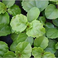 Plectranthus australis - Planta del dinero - Maceta de 10,5cm - 10cm de altura