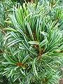 japanische Mädchenkiefer Pinus parviflora Glauca 25-30 cm hoch mit Ballen von Plantenwelt bei Du und dein Garten