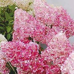 Sunlera 20pcs / Beutel Schönheit Erdbeere Hydrangea Blumensamen für Hausgarten-Pflanzen von Samen