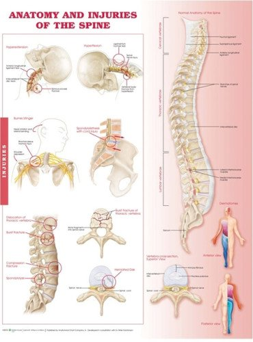 Anatomy and Injuries of the Spine Anatomical Chart par  Anatomical Chart Company