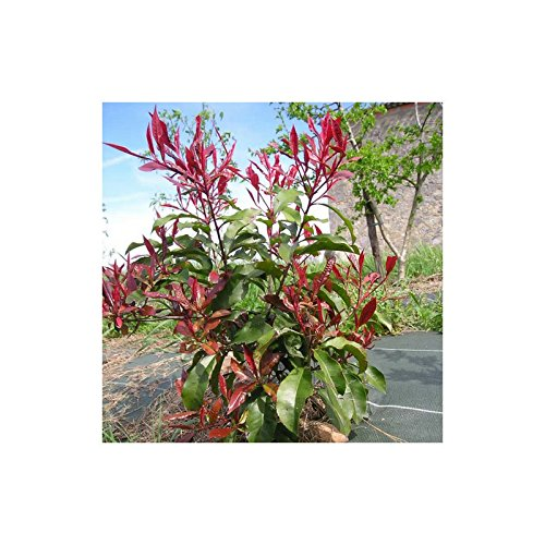 kit-haie-photinia-photinia-fraseri-red-robin-haie-en-kit-10-jeunes-plants