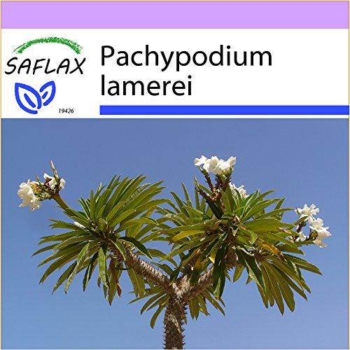 SAFLAX - Kakteen - Madagascar - Palme - 10 Samen - Pachypodium lamerei