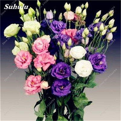 200 Pcs intérieur Bonsai Eustoma Graines vivaces plantes à fleurs Balcon Fleurs Graines Lisianthus en pot pour Flower Pot Planters 13